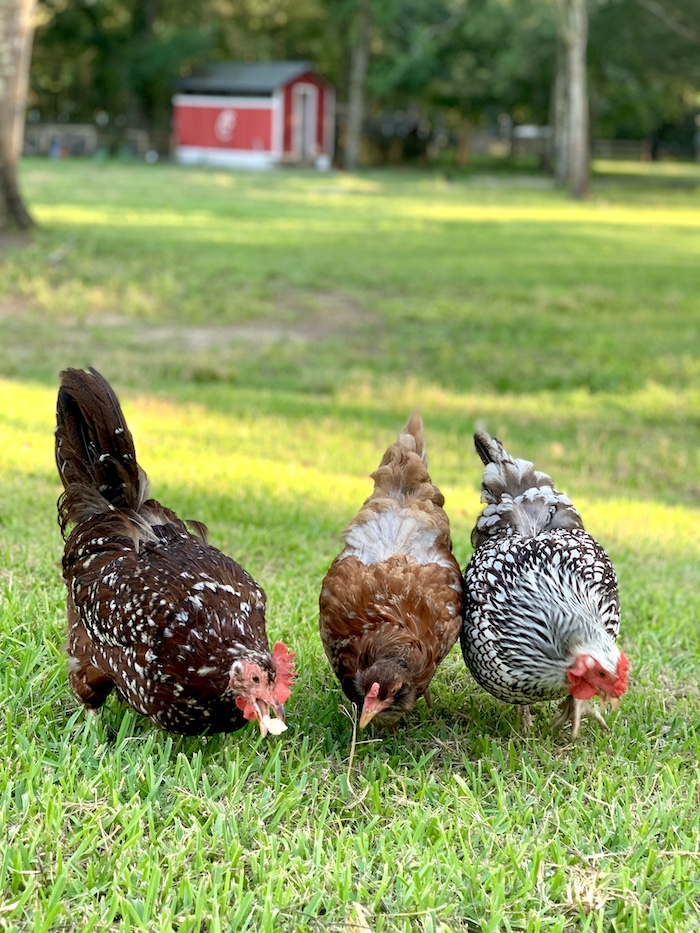 Backyard Chickens- Why Every Family Should Have Some ...